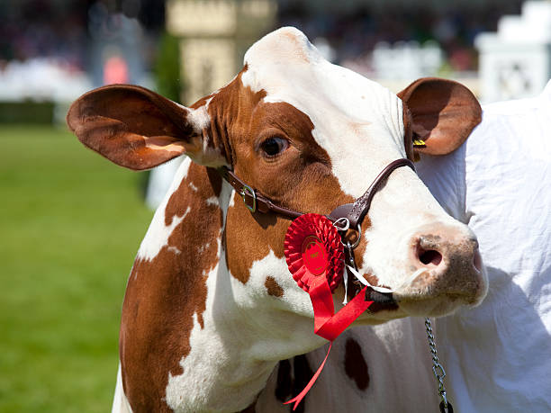 Ayrshire Cow stock photo