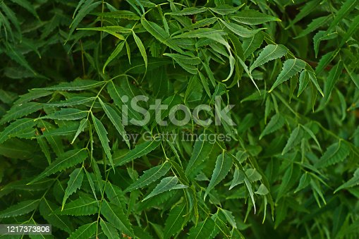 Azadirachta indica, commonly known as neem, nimtree or Indian lilac, commenly use for medicinal purpose