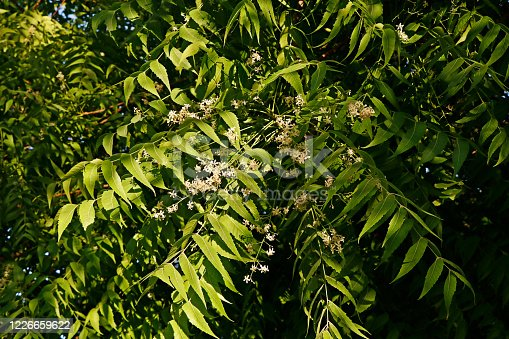 Azadirachta indica, commonly known as neem, nimtree or Indian lilac