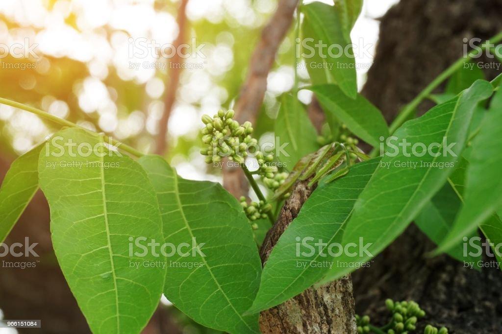 Azadirachta indica blomma i natur trädgård - Royaltyfri Ekologisk Bildbanksbilder