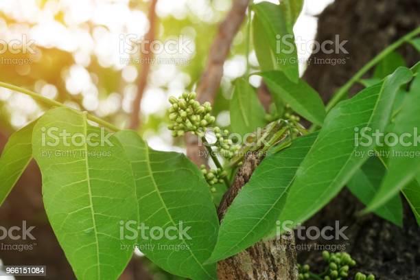Azadirachta Indica Blomma I Natur Trädgård-foton och fler bilder på Ekologisk