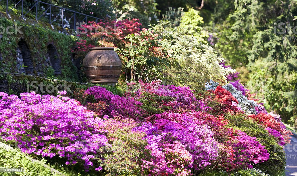 Azalea and Rhododendron in a Formal Garden. Color Image stock photo