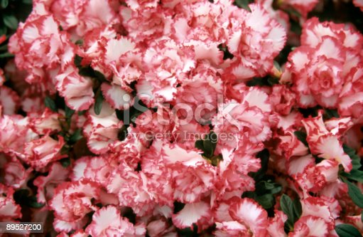 Azalea Background Stock Photo & More Pictures of Agriculture