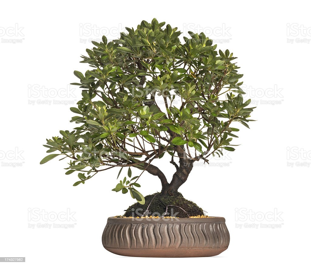 Azalea Bonsai Tree Rhododendron Isolated On White Stock Photo Download Image Now Istock