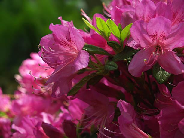 Azalea Bush in Hot Pink Blossoms in Spring, Pennsylvania stock photo