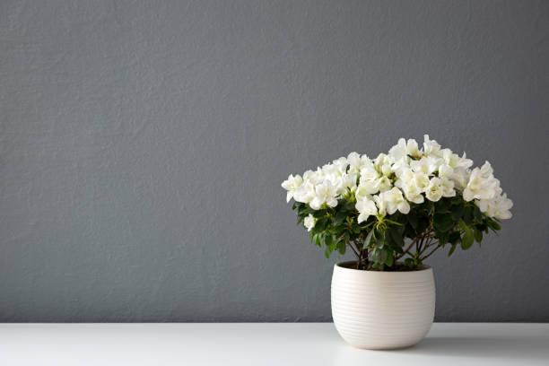 Azalea dwarf white stock photo