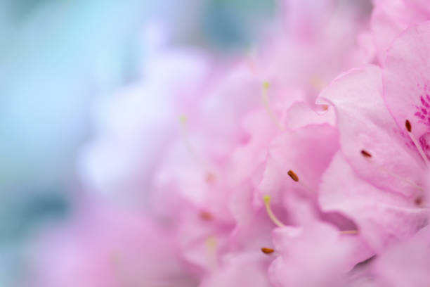 Azalea floral background stock photo
