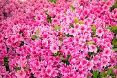 istock azalea flower blooming beautifully in the garden of spring 1222663540