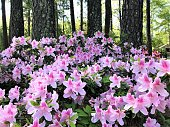 istock Azalea Flower Blooming in the Garden 1216985645
