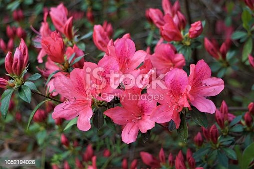 Close up beautiful pink Azalea flower in the garden, Spring in GA USA.