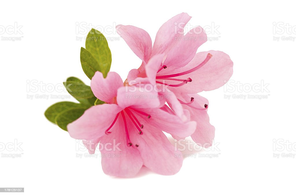 azalea flower stock photo