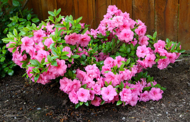Azalea, flowering shrubs member of the genus Rhododendron Azalea, flowering shrubs member of the genus Rhododendron azalea stock pictures, royalty-free photos & images