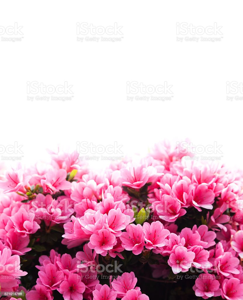 Azalea Flowers on White stock photo