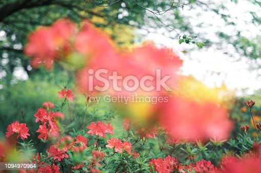 Spring background with blossoming red azaleas.