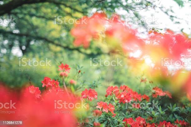 Azalea flowers picture id1126841278?b=1&k=6&m=1126841278&s=612x612&h=2w4qvwhuz3m6wrtixepyqr8ecvlrzra568c8ltou2la=