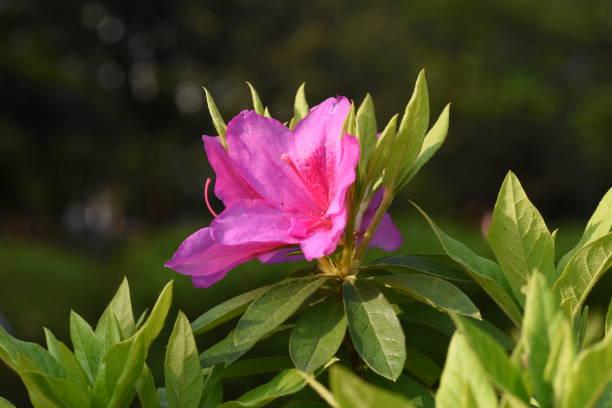 Azalea (Rhododendron) flowers – zdjęcie