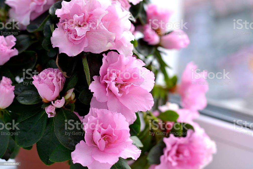 azalea flowers bildbanksfoto