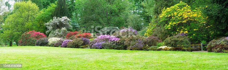 Rhododendron/Azalea in full bloom. Large panorama in Botanical garden.