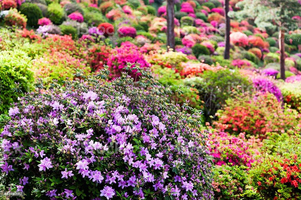 Azalea Garten  – Foto