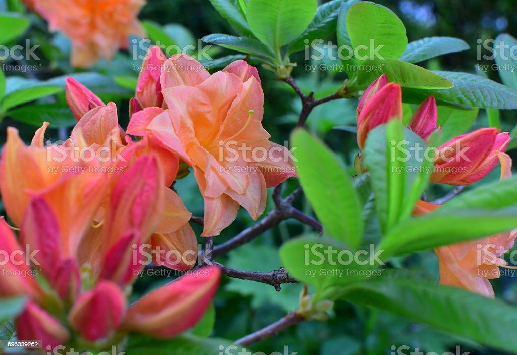 Azalea en color naranja suave - foto de stock