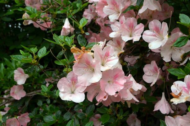 Azalea in Pink stock photo