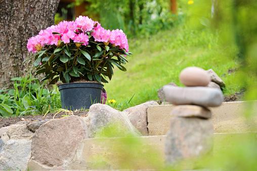 Azalea or rhododendron in garden. Season of flowering azaleas (rhododendron) at garden