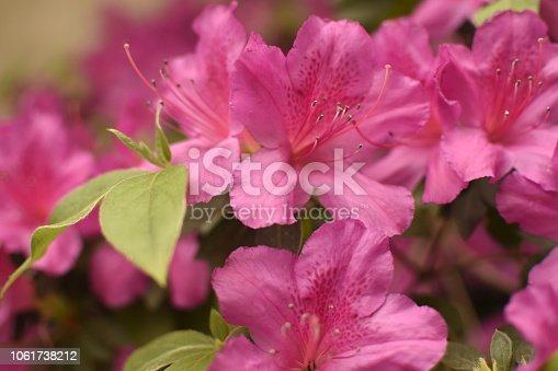 Azalea florecida
