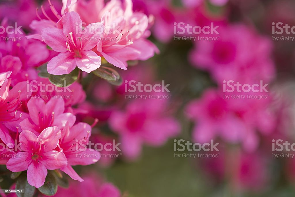 Azalea stock photo