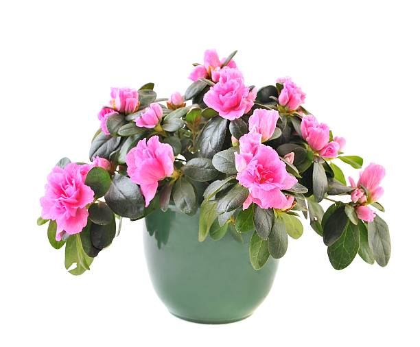 Azalea (Rhododendron) flower pot of pink Azalea (Rhododendron) on white background azalea stock pictures, royalty-free photos & images