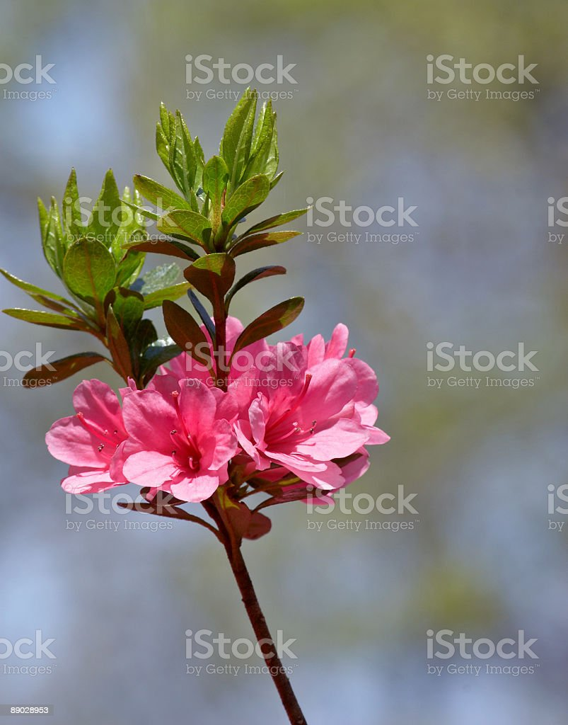 Azalea royalty-free stock photo