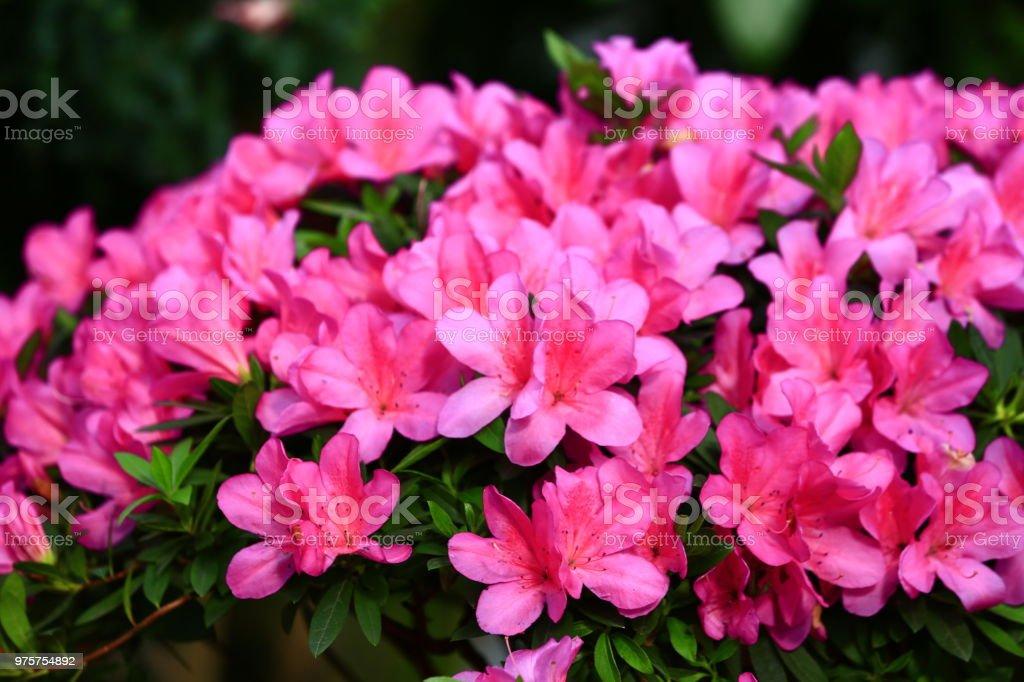 azalea - Lizenzfrei Azalee Stock-Foto