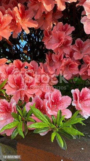 istock Azalea Pink Flowers 1318332601