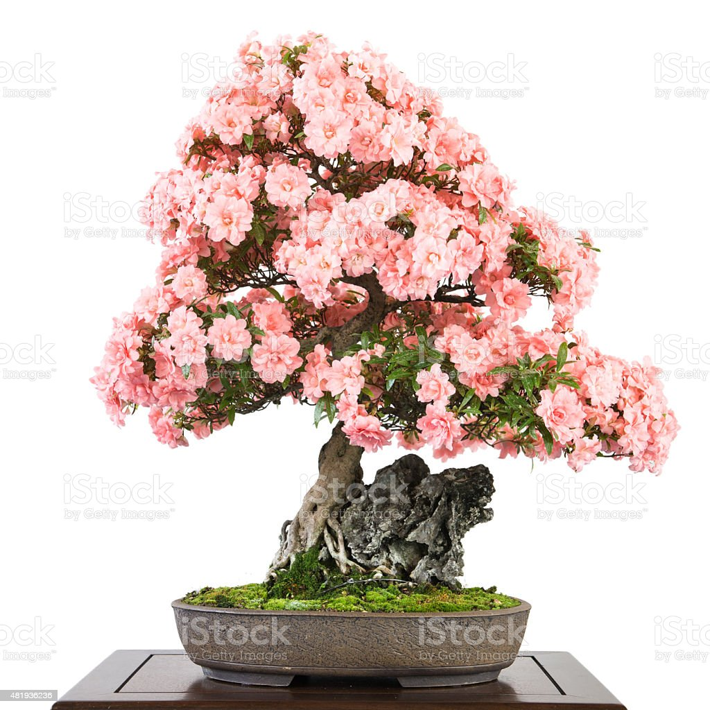 Azalea With Pink Flowers As Bonsai Tree Stock Photo More Pictures