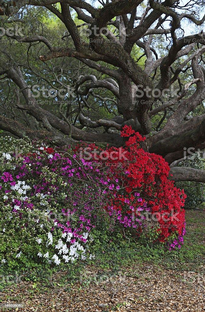 Azaleas and Live Oak