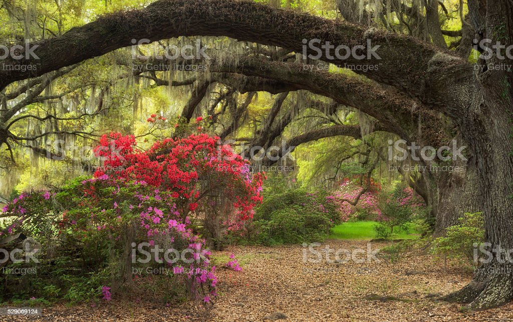 Azaleas Blooming Lowcountry Charleston South Carolina Live Oaks Spanish Moss stock photo