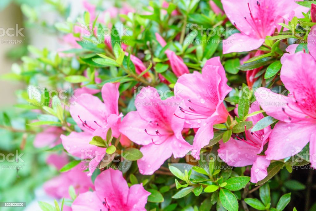 Azaleas flowers wet in the rain stock photo