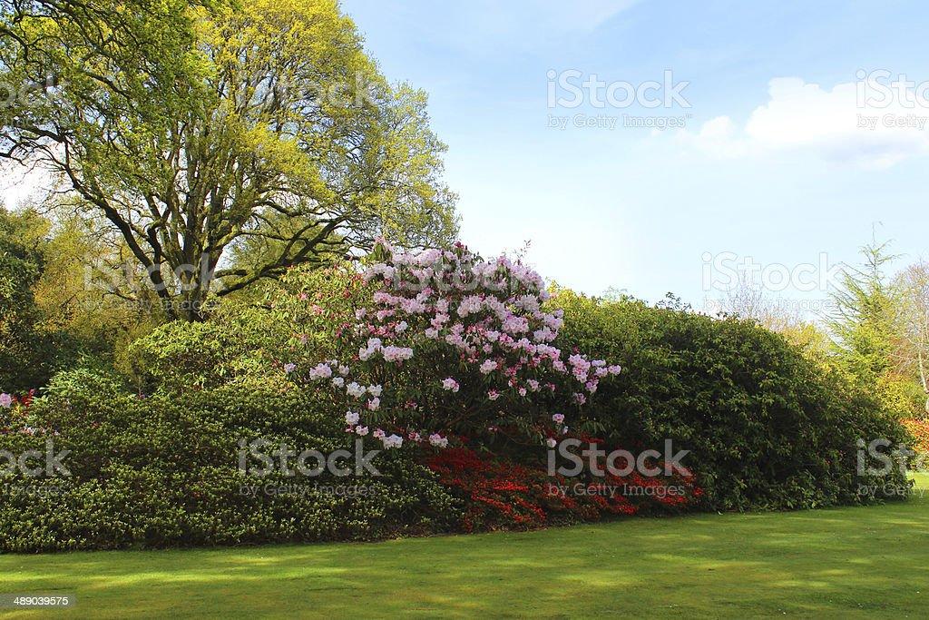 Azaleas Et Des Rhododendrons De Fleurs Arbustes Et Hêtre Dans Le ...