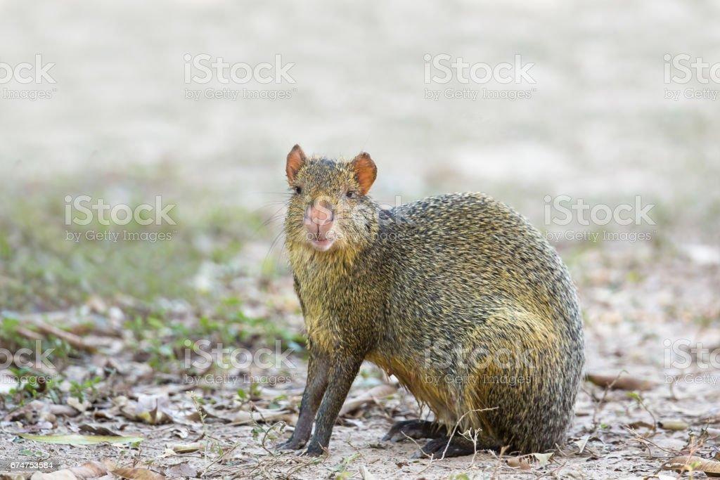 Azara's Agouti sat on bare ground stock photo