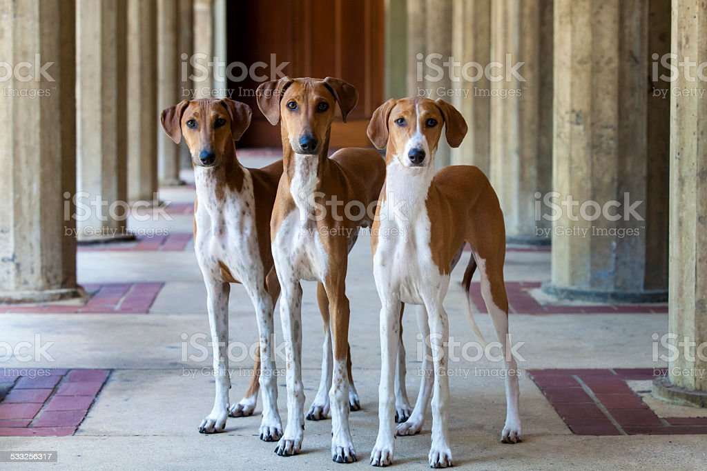 Azawakh Puppies royalty-free stock photo