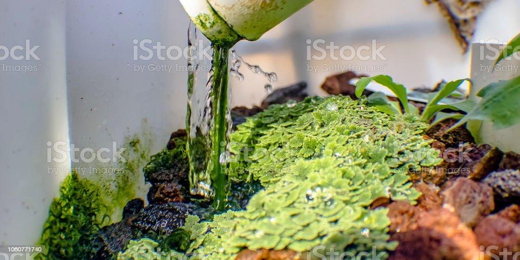 Azolla growing on lava rocks through Aquaponics stock photo