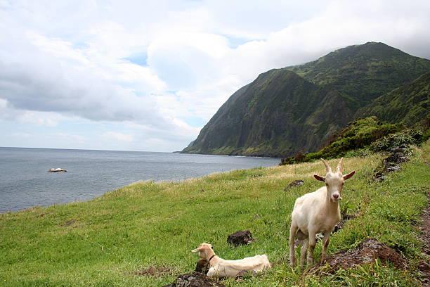 Azore Goats stock photo