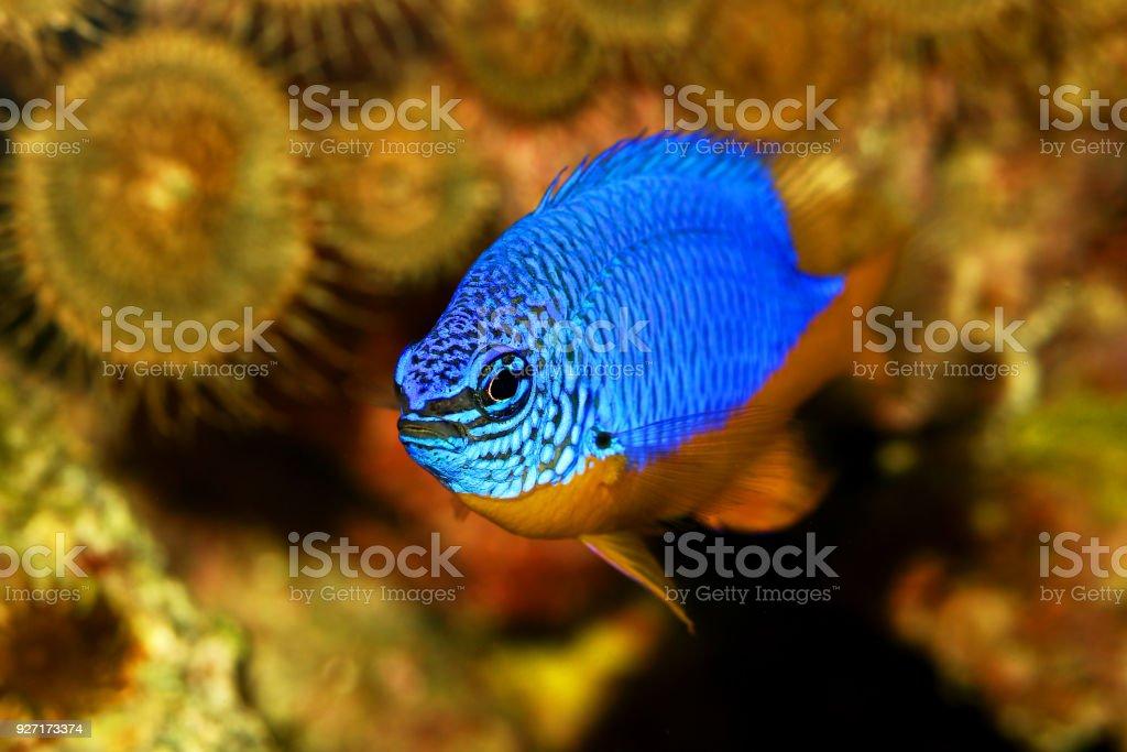Azure Damselfish Chrysiptera Hemicyanea Or Saltwater Aquarium Fish Royalty Free Stock Photo
