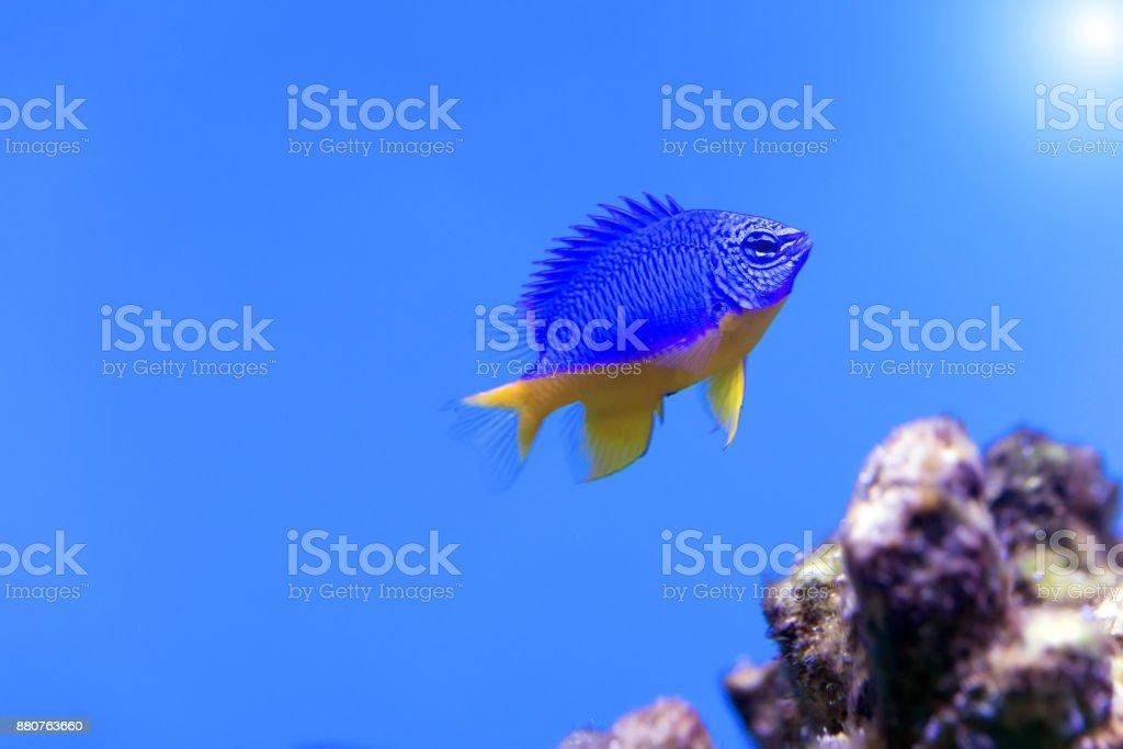 Azure Damselfish (Chrysiptera hemicyanea). Fish of the genus Pomacentridae stock photo