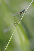 Azure Damselfly - Coenagrion puella - blue female and green male