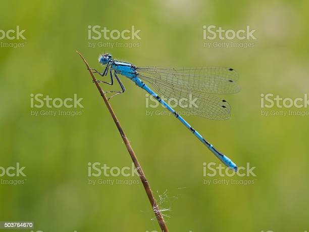 Azure damselfly on a blade of grass - Coenagrion puella