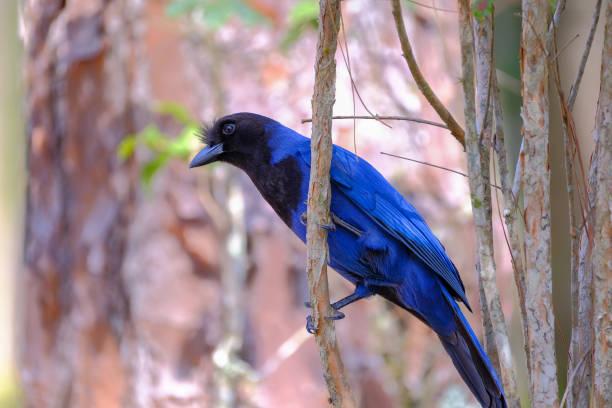 Azure Jay, Gralha Azul or Blue Jackdaw bird, Cyanocorax Caeruleus, Florianopolis, Brazil stock photo