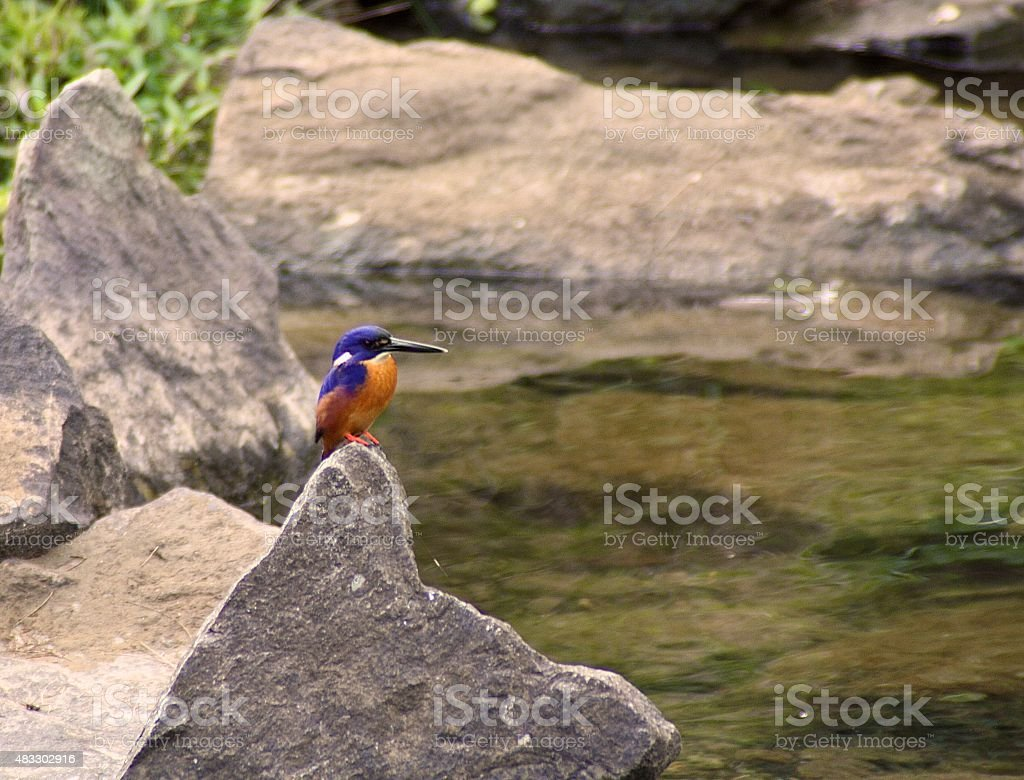 Azure Kingfisher on a Rock stock photo