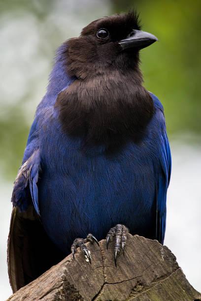 Azure-Jay - Gralha-Azul - Cyanocorax caeruleus – Foto