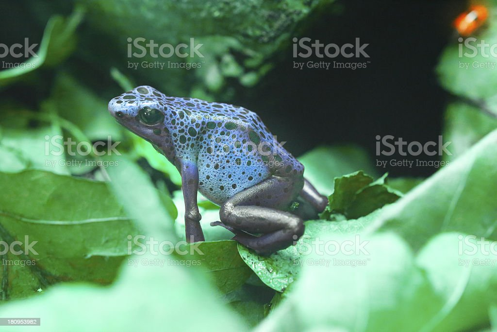 Azureus royalty-free stock photo