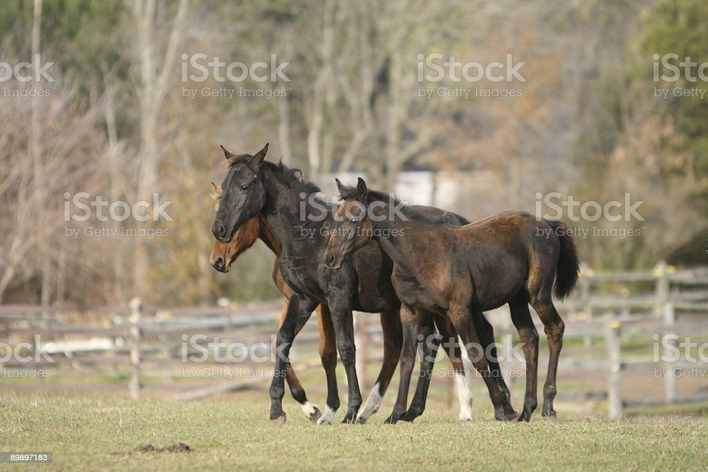 Babies in the paddock... royalty-free stock photo